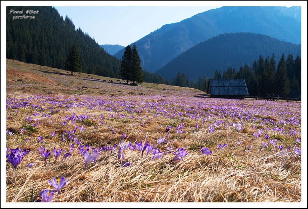 Krokusy w Tatrach. Dolina Chochołowska