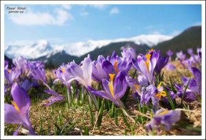 Krokusy w Tatrach. Fotoreportaż by Górsko