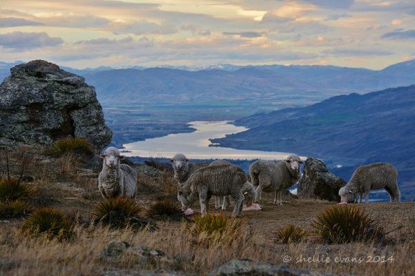 Owce merynosowe