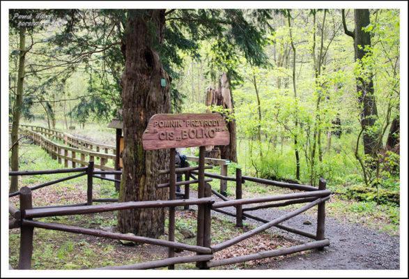 Pomnik-przyrody-cis-Bolko