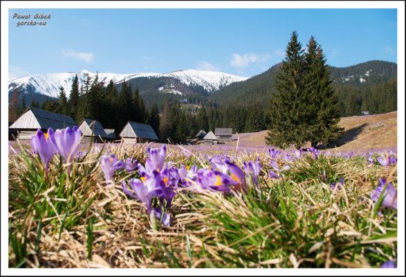 Read more about the article Krokusy w Tatrach to nie tylko Dolina Chochołowska. Gdzie jeszcze można je znaleźć?