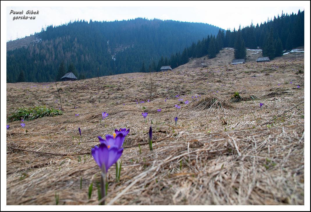 Krokusy-w-Tatrach.-Dolina-Lejowa