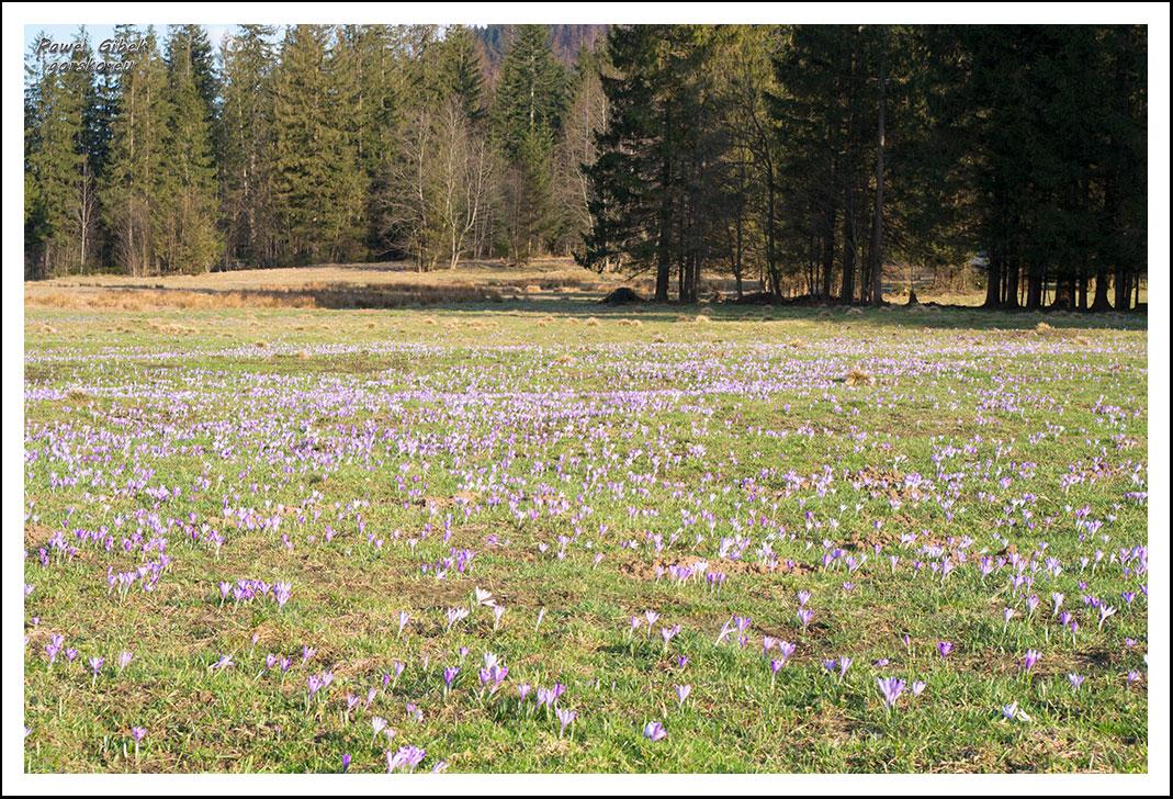 Krokusy-w-Tatrach.-Ścieżka-pod-Reglami-1