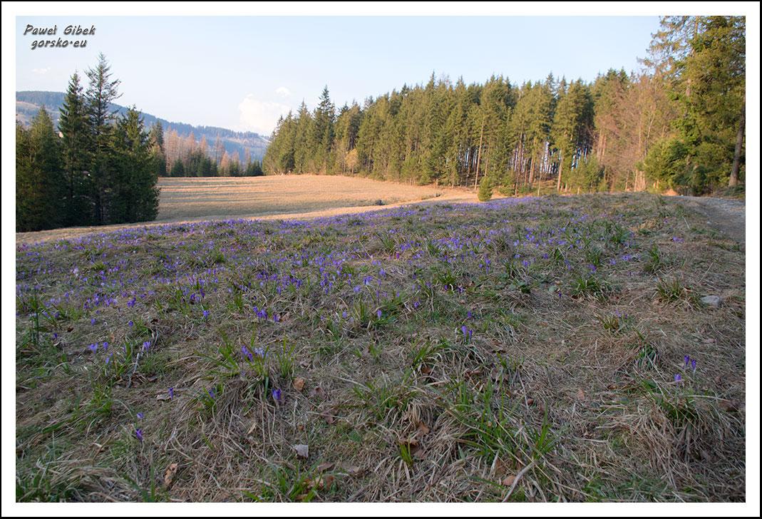 Krokusy-w-Tatrach.-Ścieżka-pod-Reglami-3