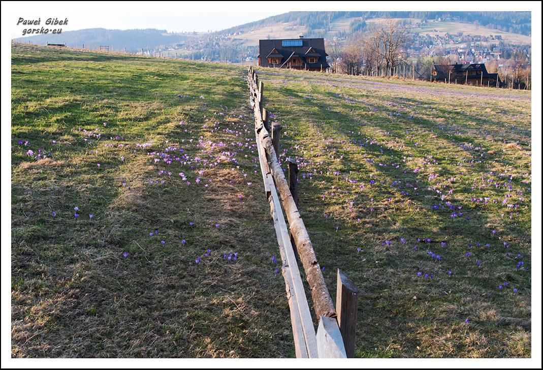 Krokusy-w-Tatrach.-Ścieżka-pod-Reglami-5