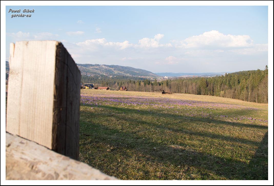 Krokusy-w-Tatrach.-Ścieżka-pod-Reglami-6